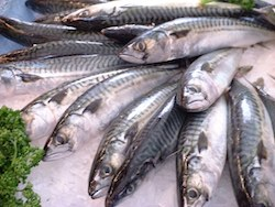 There wasn't much of a market for mackerel in Maine in the 1960s and '70s. Wikipedia/Jastrow photo.
