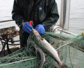 Hatchery hauls: Alaska's statewide salmon catch gets $118 million boost