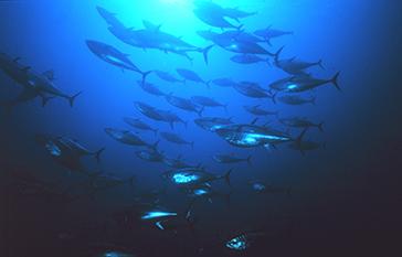 Pacific bluefin tuna. NOAA photo.
