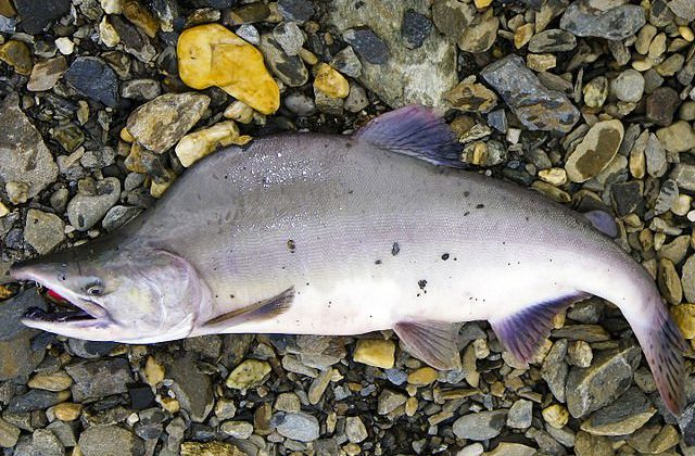 NOAA has $56.3 million in relief funds coming for the 2016 pink salmon fishery failure.
