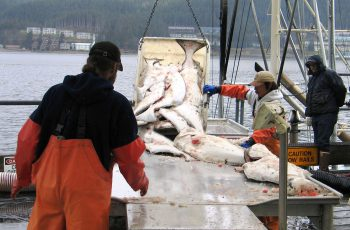 Unloading Alaska halibut. NOAA photo.
