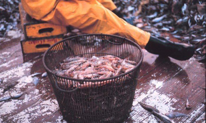 Shrimp catch. NOAA photo.