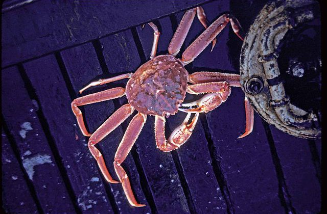 Tanner crab. U.S. Fish and Wildlife Service photo.