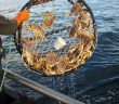 Dungeness crabs generic CA Dept Fish Wildlife