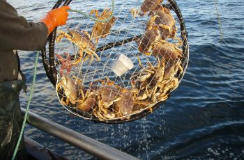 Dungeness crabs generic CA Dept Fish Wildlife