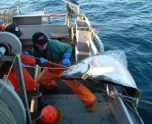 Halibut in steady decline throughout Pacific, says commission