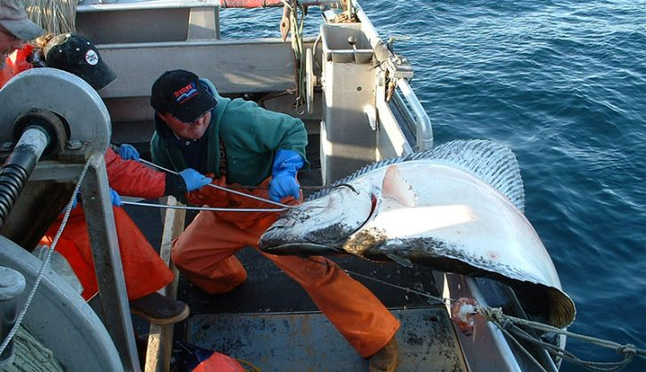 Longlining Alaska Halibut aboard the Dues Payer II. Peter Thompson photo.