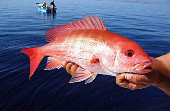 Red snapper. NOAA photo.