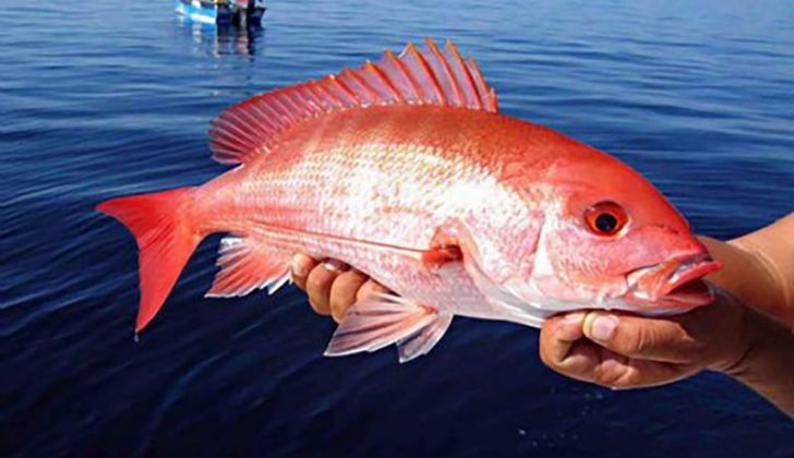 gulf snapper story misleads maligns national fisherman