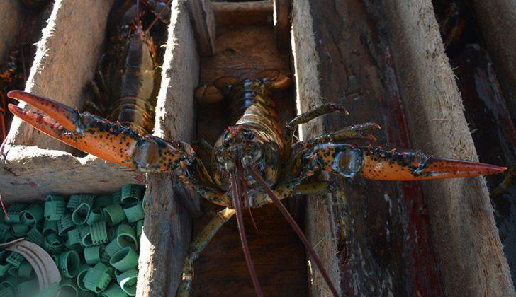 A lobster awaits banding. Doug Stewart photo.