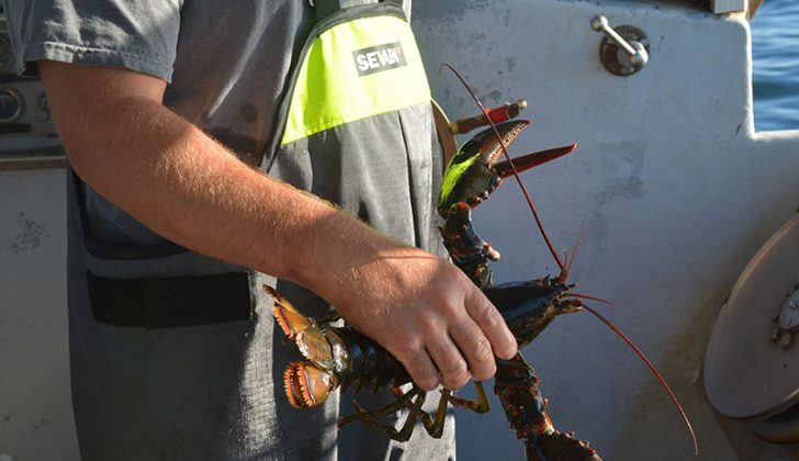 Maine lobster tallies likely to reveal a drop in catch and value this season