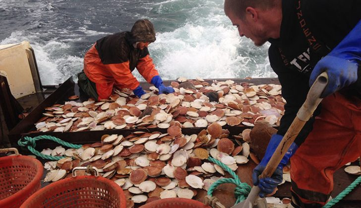Scallops hold steady for New England, but sizes could shrink