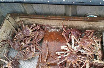 Norton Sound red king crab. NOAA photo.