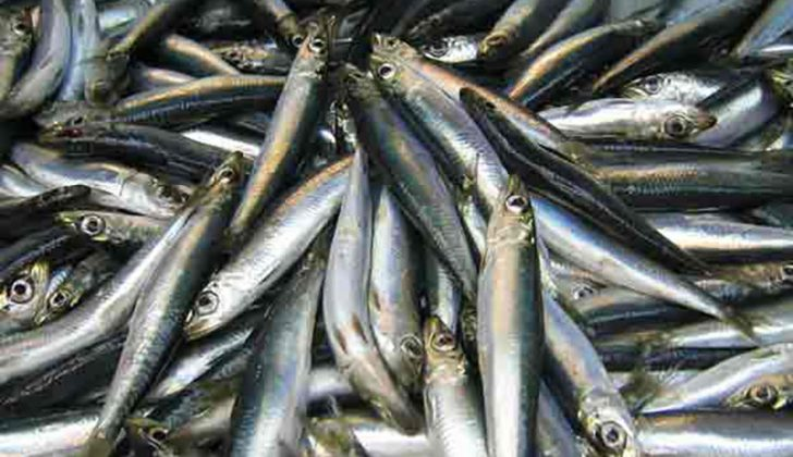 Atlantic herring. Northeast Fisheries Science Center/NOAA photo.