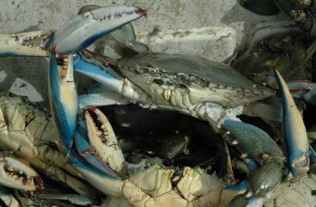 Blue crabs. Florida Sea Grant photo.