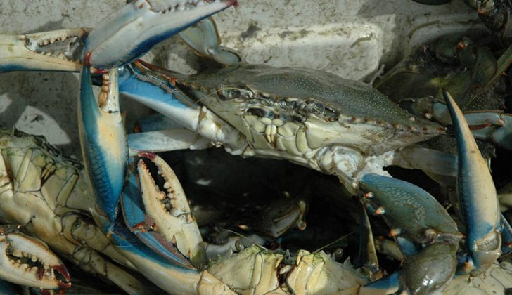Blue crabs. Florida Sea Grant photo.