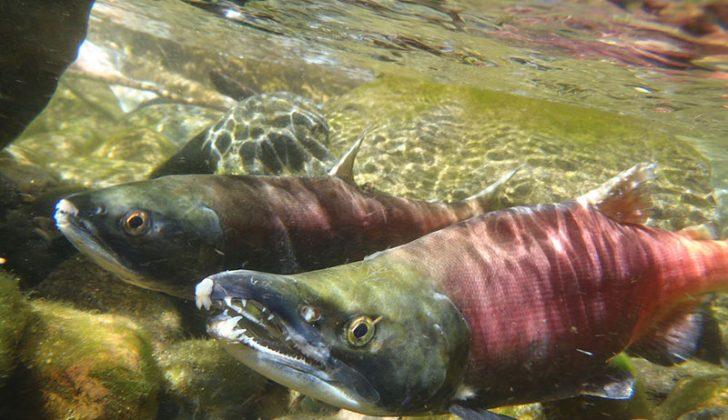 Sockeye salmon. California Department of Fish & Wildlife photo by Andrew Hughan.