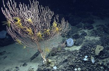 Part of the Northeast Canyons and Seamounts Marine National Monument. NOAA Office of Ocean Exploration photo.