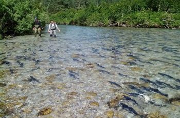 Sampling salmon in the sheep river. Prince William Sound Science Center photo.