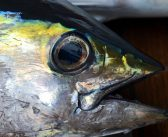 Gulf yellowfin tuna harvest bouncing back from 2018 slump
