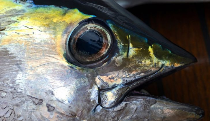 Yellowfin tuna. Creative Commons photo by Flickr user Taro Taylor.