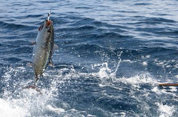 Albacore hooked on a bait pole offshore Oregon. NOAA Fisheries West Coast photo.