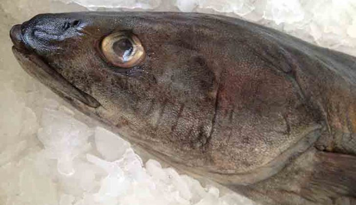 Fresh caught blackcod, also known as sablefish, sits on ice in a Newport, Ore., fish market. NOAA photo by Alix Smith.
