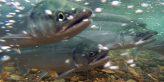 Salmon migration. USFWS/Togiak National Wildlife Refuge photo.