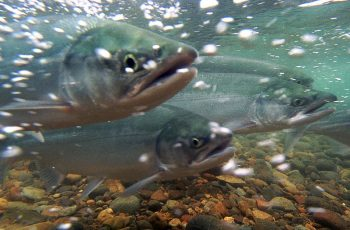 Salmon migration. USFWS/Togiak National Wildlife Refuge photo.