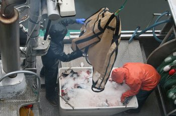 Offloading salmon in Petersburg, Alaska. Jessica Hathaway photo.