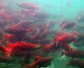 Season of uncertainty: Alaska braces for seafood tariffs