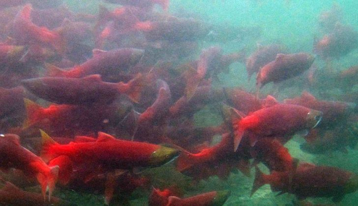 Sockeye salmon schooling. Alaska Department of Fish and Wildlife photo.