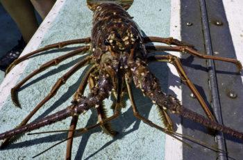 Fla. spiny lobster harvest stunted by 2017 hurricane season