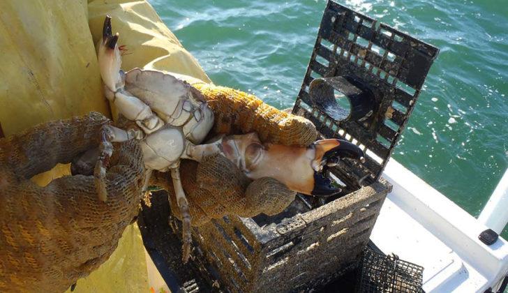 Florida stone crab. Florida Sea Grant photo.