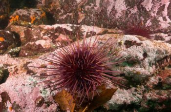 Purple urchin invasion leads to a low harvest, high prices for West Coast urchins