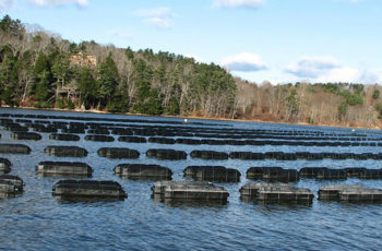 Demand for Maine oysters continues to skyrocket