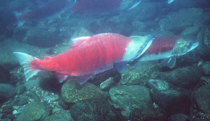 Alaska salmon sockeye - salmon catch
