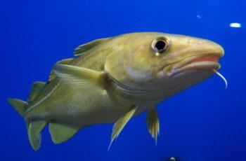 Gulf of Alaska cod