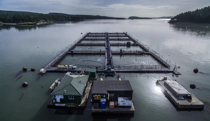 Judge rules Cooke Aquaculture can't restock Wash. farms
