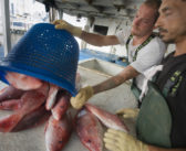 Red snapper markets steady despite hurricane-induced fishing breaks
