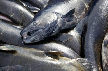 Tentative deal reached on renewal of Pacific Salmon Treaty