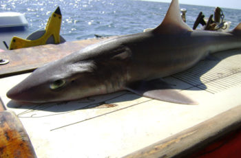 National Marine Fisheries chief speaks out against shark fin sale bans