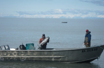 Cook Inlet bait herring and smelt net big payouts for few participants