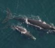 Northern right whales in Cape Cod Bay, Massachusetts. NOAA photo.