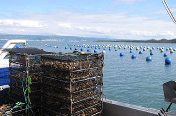 Environmental conditions spur growth spurt for Alaska oysters