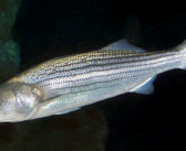 NMFS issues report on N.C. bass poaching ring