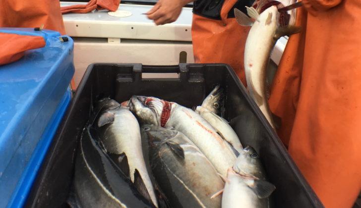 Northeast groundfish