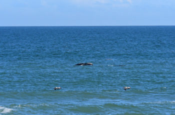 Baby boom: Five right whale calves spotted off the coast of Florida