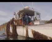 Seaweed Matters: Lobstermen help kelp spread in Maine
