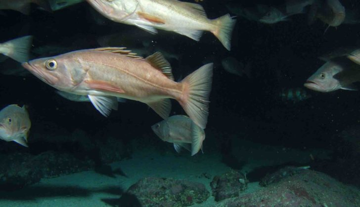 NOAA: West Coast rockfish population rebuild project a success